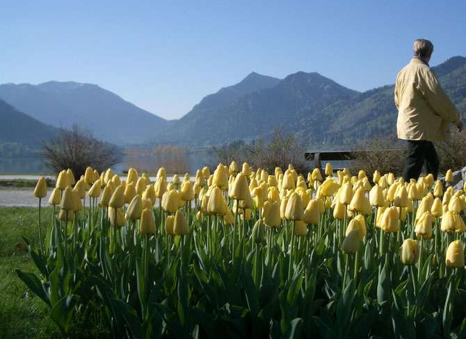 Tulpenparadies am Schliersee