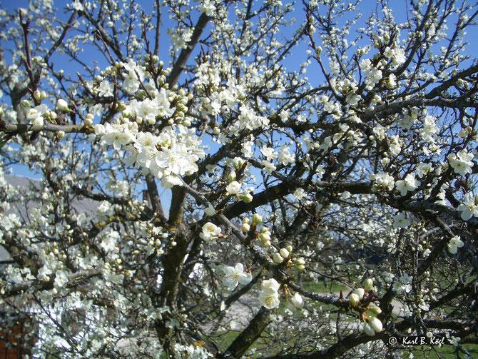 Kirschblüte in Schliersee-Süd
