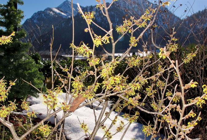Ein Strauch Zaubernuss (Hamamelis) - der erste Frühlingsbote an sonnigen Hanglagen