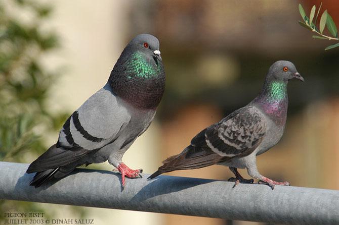 Pigeons bisets