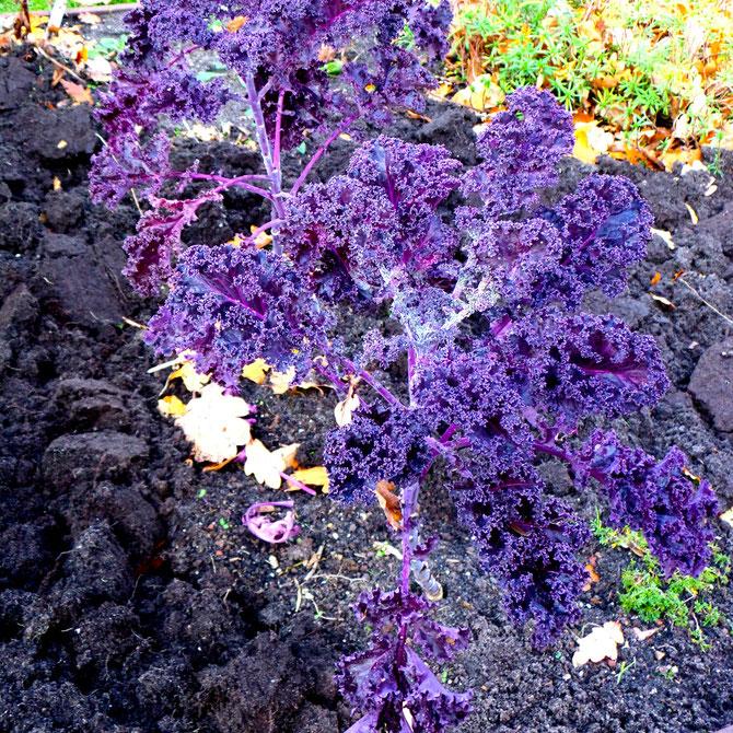 moestuin boerenkool zaaien groeien kweken planten verzorgen
