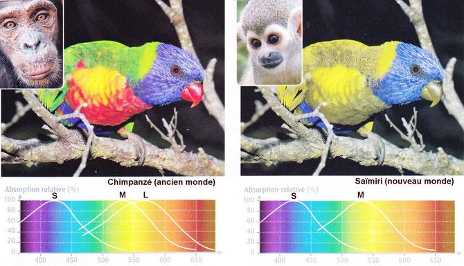 Exemple de vision d'un trichromate (chimpanzé à gauche) et d'un dichromate (Saimiri à droite). Source : lycée Jaufrey Rudel