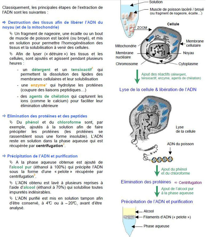 BILAN DES ETAPES DE l'EXTRACTION DE l'ADN (Niveau 2nde). Source: IFREMER. (Cliquer sur l'image pour l'agrandir).