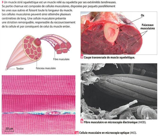 Détails de l'organisation du muscle squelettique. Source : SVT Belin.