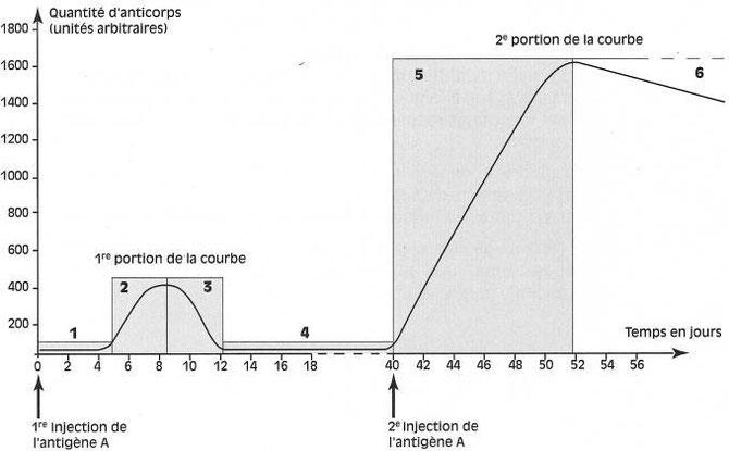 Evolution du nombre d'anticorps au cours de la primo-infection (1ère injection de l'antigène A) puis au cours de la seconde injection de l'antigène A. Source: café pédagogique.