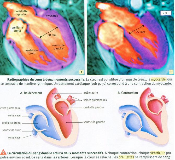 Echographie du coeur entre 2 battements et interprétation.