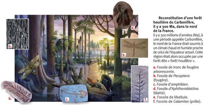 Reconstitution d'une forêt houillère du Carbonifère. Source: livre SVT.