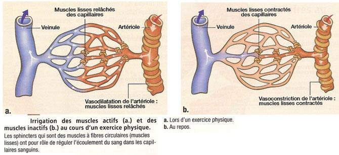 Irrigation des muscles actifs (à gauche) et inactifs (à droite) à l'effort.