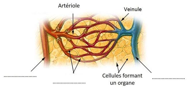 Schéma de la circulation dans une portion d'un muscle à légender
