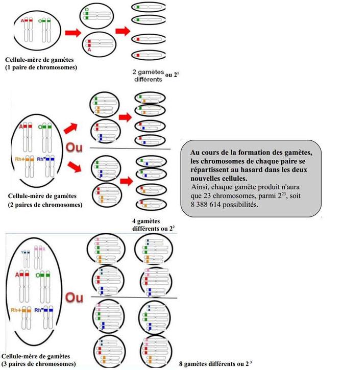 Formation des gamètes et diversité génétique. Source: internet. Cliquer pour agrandir.