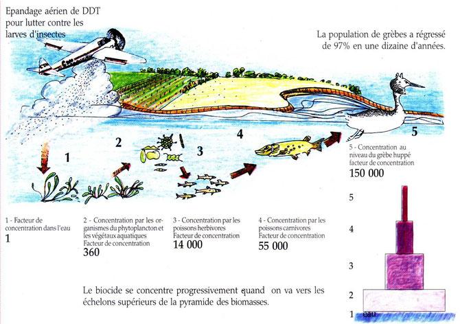 Principe de la bioaccumulation du DDT le long de la chaine alimentaire. Source : les écologistes de l'Euzière.
