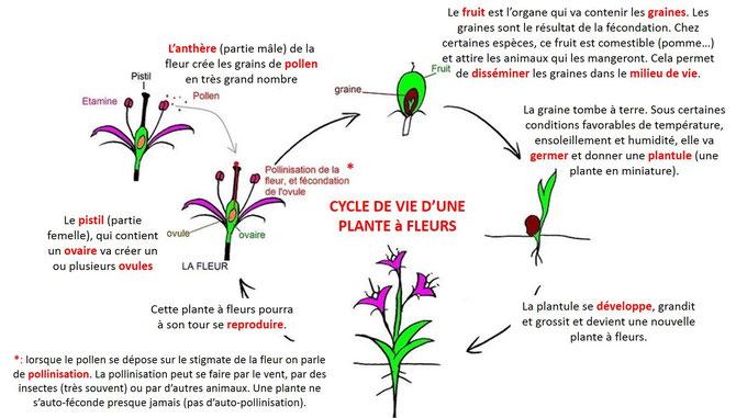 Cycle de vie d'une plante à fleur: le lys. Cliquer sur l'image pour l'agrandir.