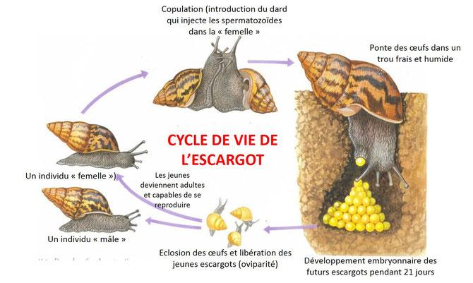 Cycle de vie de l'escargot. Cliquer sur l'image pour l'agrandir.
