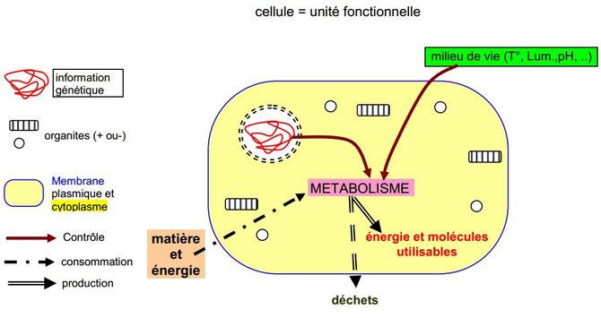 Schéma du métabolisme cellulaire. Source: banque de données SVT.