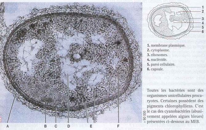 Cellule procaryote. Source : cours d'un professeur sur internet (perdu le lien).