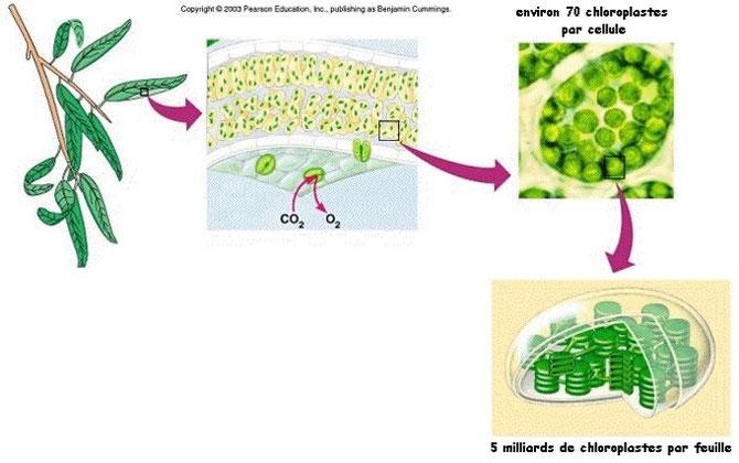 Niveau d'organisation d'une feuille, de cellules végétales et d'un chloroplaste. Source : ?