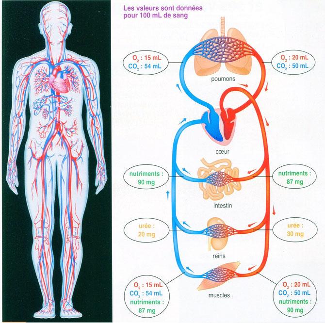Mesures des quantité de nutriments, urée et volumes de CO2 et O2 dans le sang qui entre et qui sort de différents organes du corps. Sources: BELIN SVT 2008.