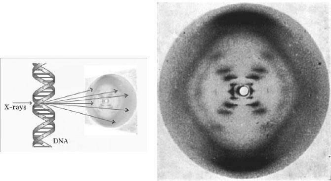 Image issue de rayon X d'un cristal d'ADN. C'est à partir de l'étude de la photo de droite que Watson et Crick comprendront la structure de l'ADN. Source: http://www.jf-doucet.com/