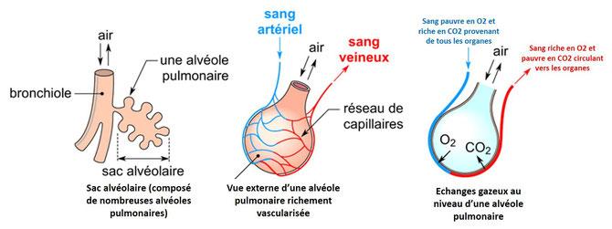 Echanges gazeux respiratoires au niveau des alvéoles pulmonaires. SOurce : modifié de PAP.