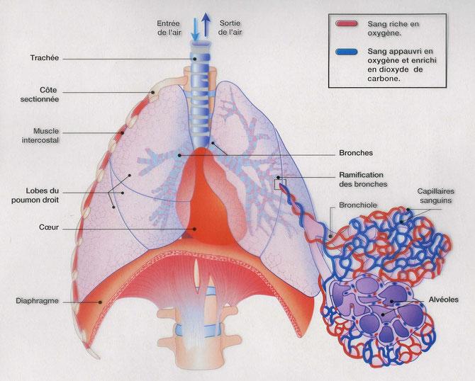Détails des capillaires entourant les alvéoles pulmonaires. Sources: http://jeanvilarsciences.free.fr/images/cinquieme/fonctionnement%20organisme/2respiration/appareil%20respi%20legende.jpg