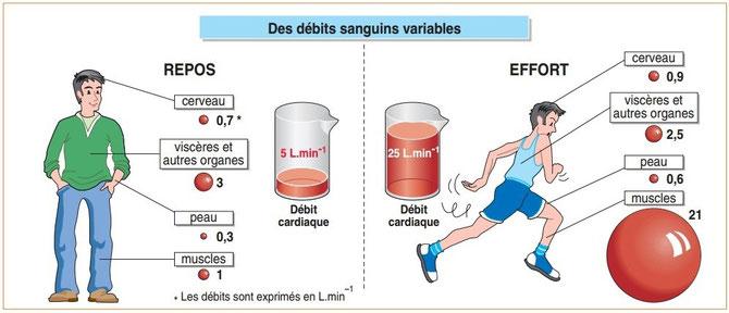Des débits sanguins variables suivant l'activité physique. Source : SVT seconde Hachette
