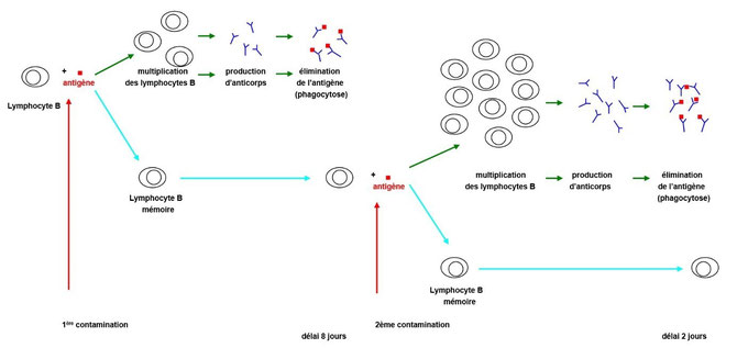Les différentes étapes de la réponse immunitaire des lymphocytes B. Source: banque de schémas de SVT. Cliquer sur l'image pour l'agrandir.