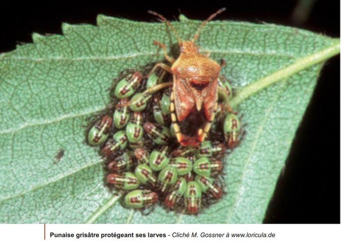 Autre exemple de soins aux jeunes chez la punaise grisâtre très commune dans nos forêts. Sources: http://www7.inra.fr/opie-insectes/pdf/i152fraval1.pdf