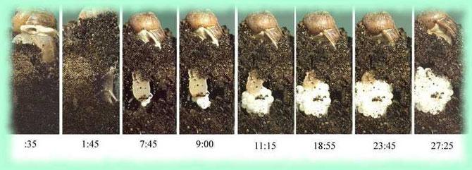 Quelques étapes de la ponte chez un escargot. Sources:M.Gireaud, éleveur d'escargots. Cliquer sur l'image.