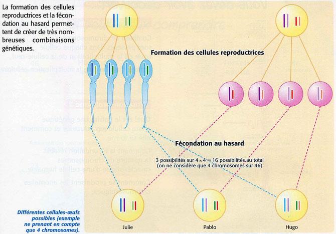 3 exemples de fécondation permettant de créer 3 cellules-oeufs qui donneront Julie, Pablo ou Hugo suivant les gamètes qui se rencontrent. Sources: SVT 3è, De Vecchi p41.
