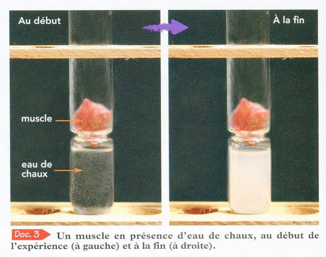 En présence de muscle, l'eau de chaux se trouble. Cette expérience prouve que les muscles rejettent du CO2 car l'eau de chaux s'est troublée en présence de muscle. Les muscles sont donc vivants. SVT Bréal 2006, p58.