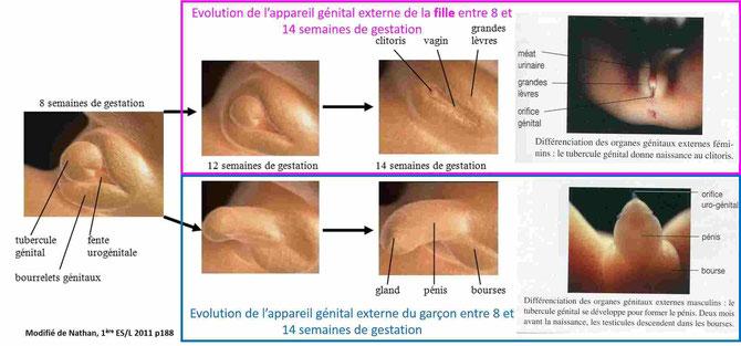Evolution des appareils reproducteurs du garçon et de la fille de 8 à 14 semaines de gestation. Cliquer sur l'image pour l'agrandir.