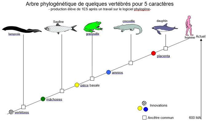 Arbre phylogénétique simplifié des vertébrés. Sources: schéma SVT.