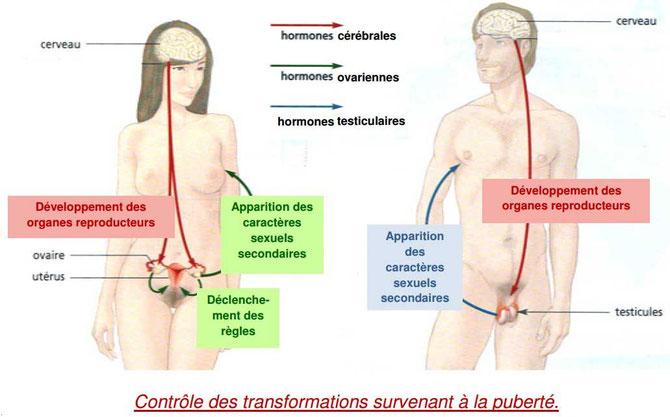 SChéma-bilan des modifications du corps en lien avec les hormones au cours de la puberté. Source: http://colleges.ac-rouen.fr/