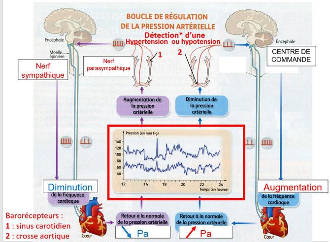 Schéma-bilan de la régulation de la pression artérielle.