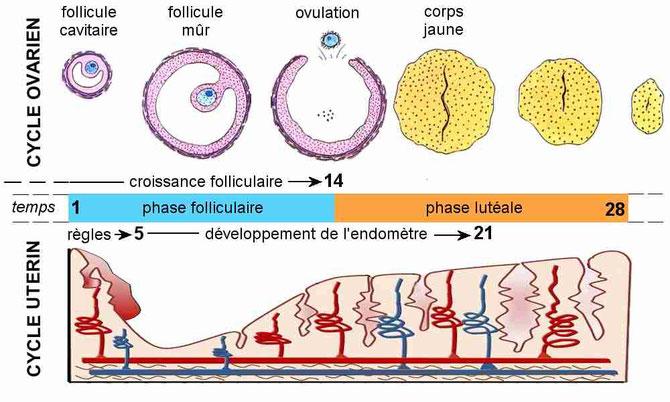 Cycle de l'utérus et de l'ovaire chez la femme. Source :