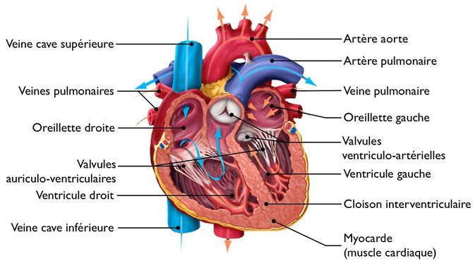 Organisation interne du coeur après dissection. Source : ?