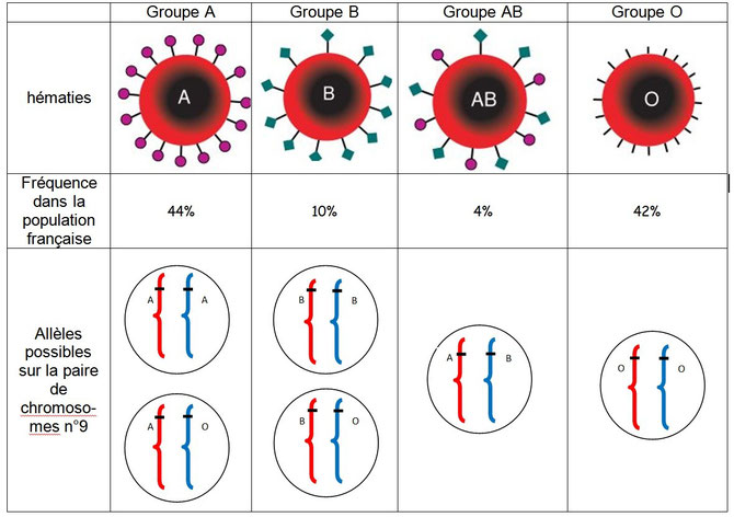 Globules rouges, antigènes de surface et groupes sanguins. Source: M.BESSOUD-CAVILLOT LOG SVT Collège   Académie de Grenoble – 2009-2010