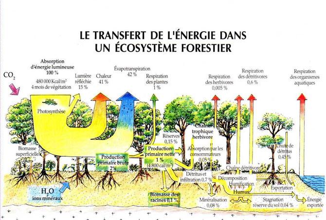 Un exemple de transfert d'énergie dans un écosystème naturel. Source: https://lamaisondalzaz.wordpress.com