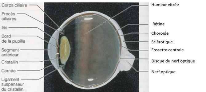 Photo de la dissection d'un oeil. Les principaux éléments constitutifs sont visibles. Source : internet.