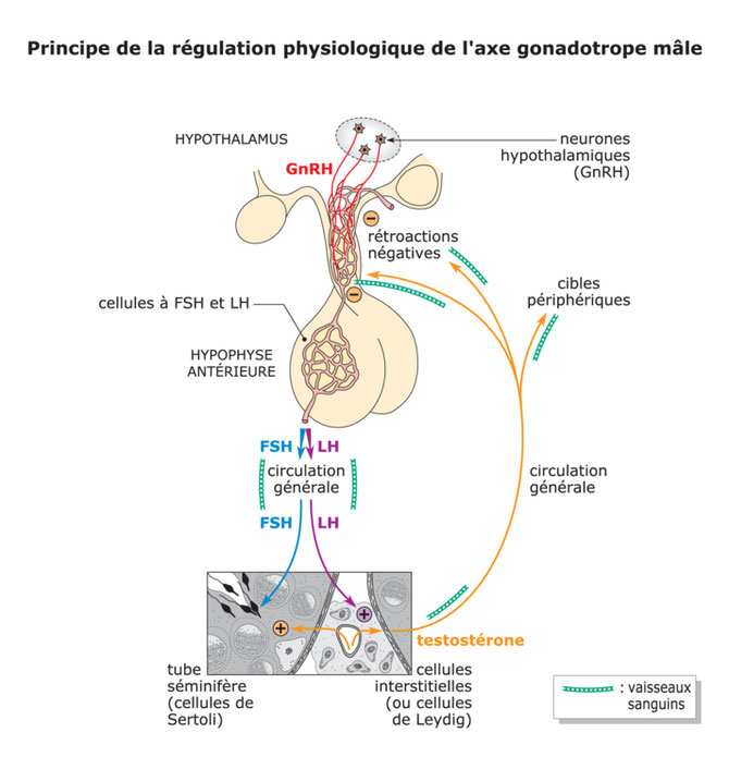 Régulation de la production de spermatozoides chez l'homme. Source: ASP.