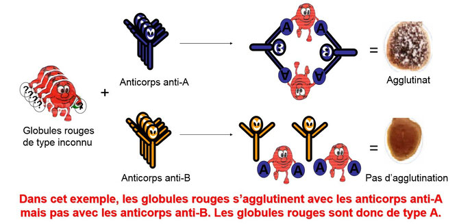 Schéma expliquant l'agglutination des globules rouges. SOurce: http://adrien.six.online.fr/IT/Documents/8.Agglutination.pdf