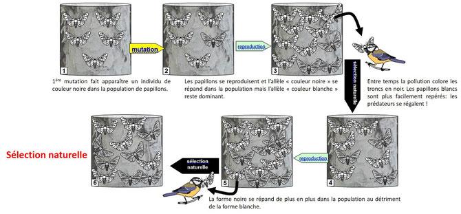 Mécanisme de la sélection natuelle. Source: banque de schémas SVT modifié.