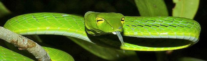 von Bernard DUPONT from FRANCE (Oriental Vine Snake (Ahaetulla prasina)) [CC BY-SA 2.0 (http://creativecommons.org/licenses/by-sa/2.0)], via Wikimedia Commons