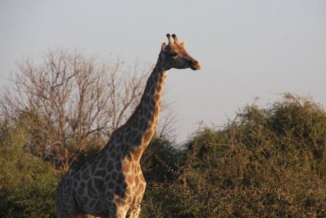 ボツワナの国立公園にいるキリン