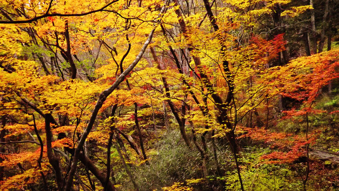 付知狭不動渓谷。中津川の里山の美しい紅葉真っ盛り付知川紅葉美しい付知峡不動渓谷紅葉狩りもみじ狩