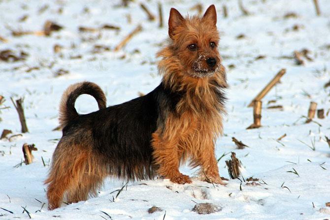 Australian Terrier Harleth von den Grauen anfurten
