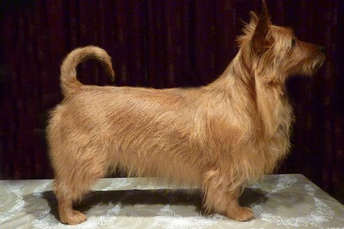 tinenja's Australian Terrier