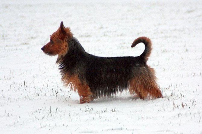 Australian Terrier Hündin Harleth von den Grauen Anfurten