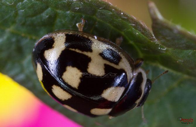 schwarzer weißer Marienkäfer