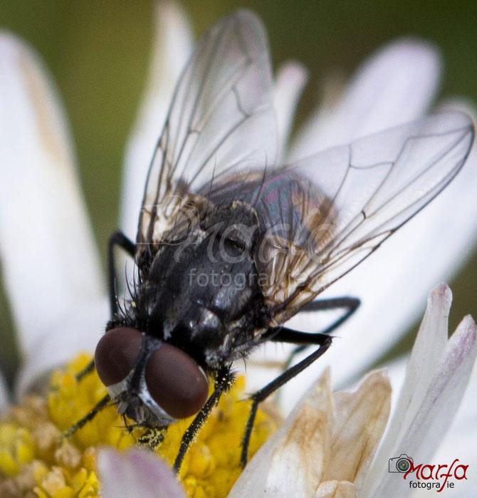 Makro Insekten Fliegen Fotografie